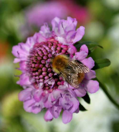 30 Fantastic Garden Flowers For Bees Scabious     Pin cushion flower