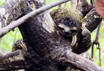 Studying Endangered Pygmy Sloths | California Academy of ...