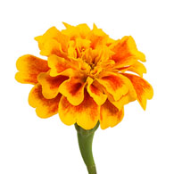 Meaning of Marigolds   What do Marigold Flowers Mean  Marigold Flower