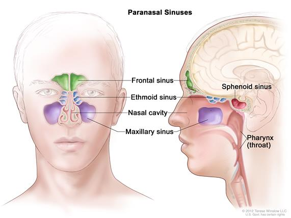 Are There Sinus Cavities Behind Head