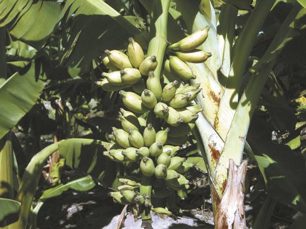 Bananas Grow Fast How Do
