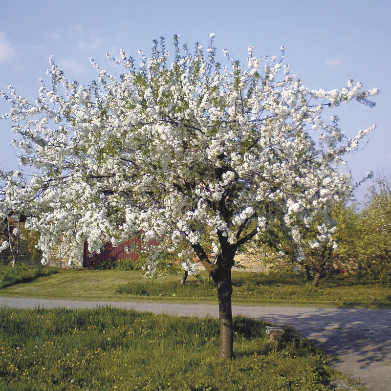 Types Blooming Trees