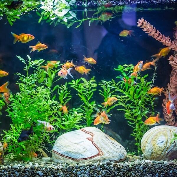 Freshwater Aquarium Plants Beginners
