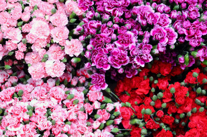 carnation  carnations  carnation flower  carnation flowers
