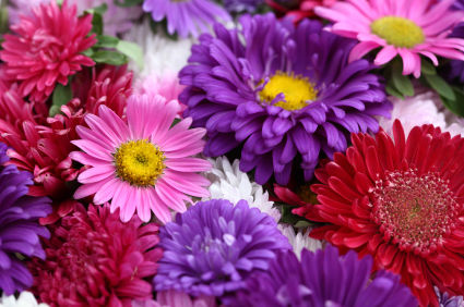 matsumoto aster  matsumoto aster flower  matsumoto aster flowers Return to Listings