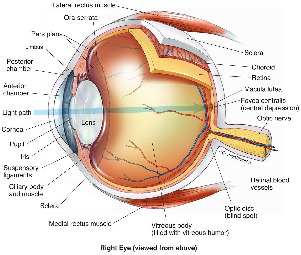 Cow Eye Fovea Centralis
