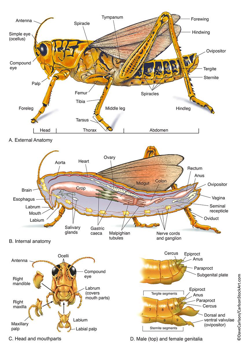 Insect Anatomy (Grasshopper) | Carlson Stock Art