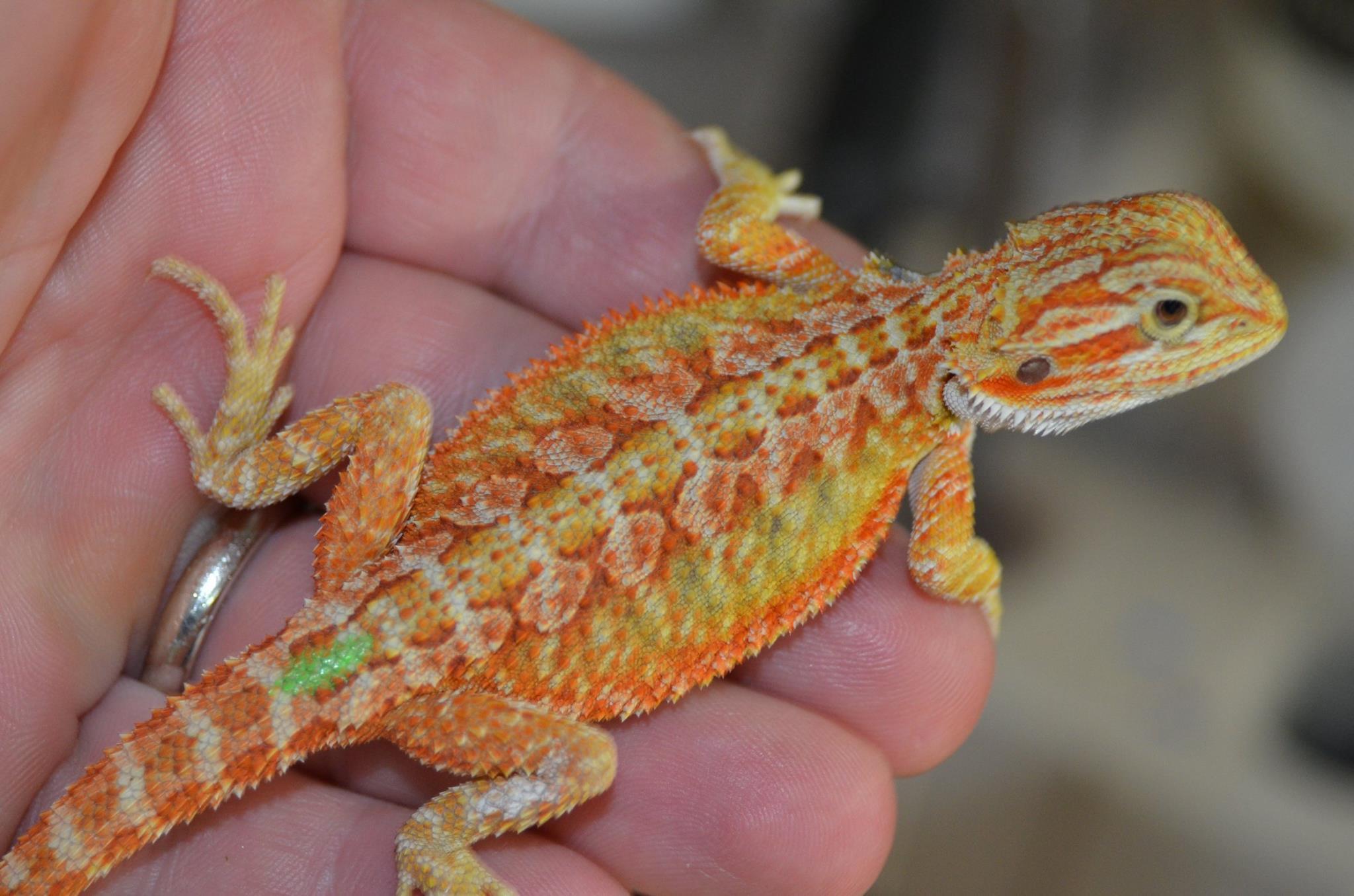 Bearded Dragon Photos | Bearded dragons for sale