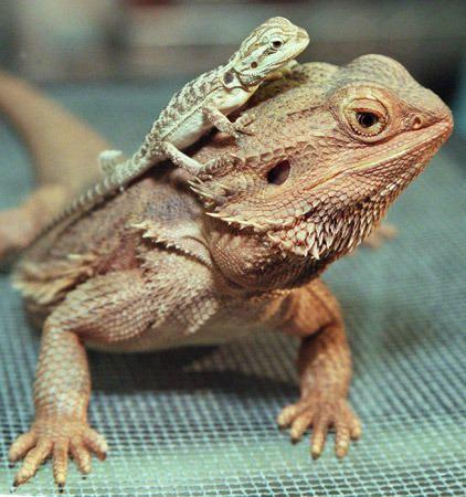 bearded dragons for sale online baby bearded dragon for ...