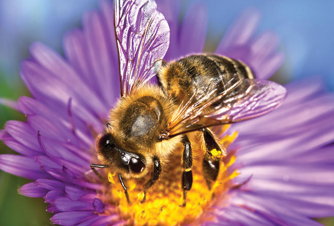 Caffeinated flowers give bees a buzz     Central Coast Amateur Beekeepers Got a favourite local where they serve your coffee just how you like it  So  do bees  new research shows  The insects prefer to visit flowers that lace  their