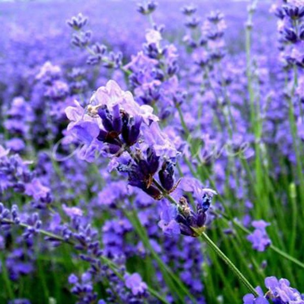 100X Perfume Lavender Flower Herb Rare Aromatic Home Garden Purple     Image is loading 100X Perfume Lavender Flower Herb Rare Aromatic Home