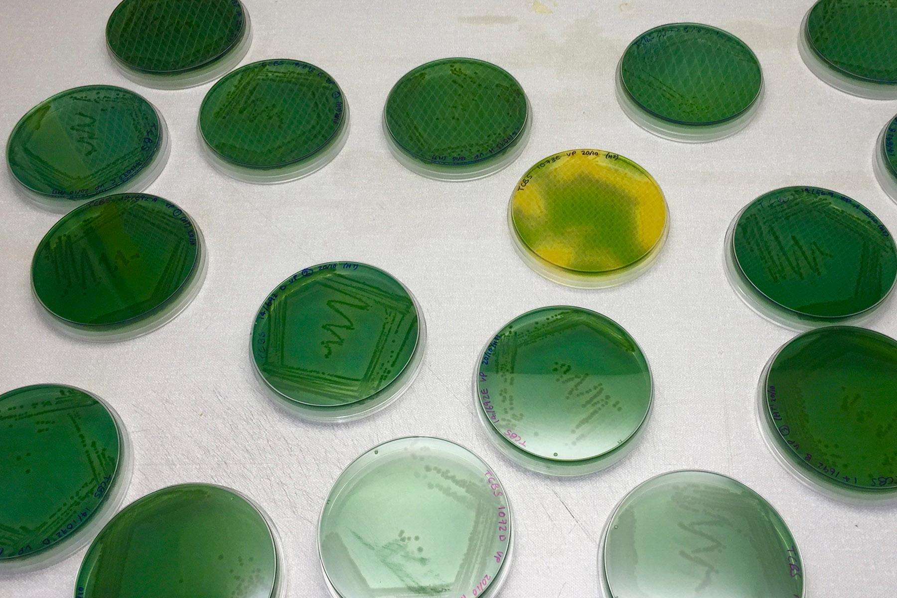 Chesapeake Bay Bacteria