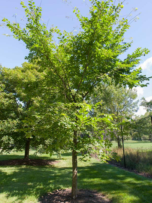 Valley Forge American Elm Chicago Botanic Garden