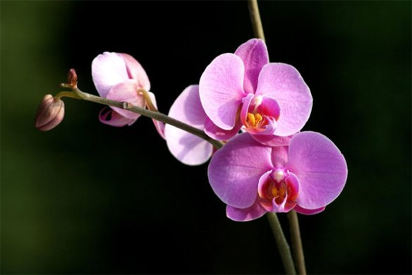 Chinese Top 10 Famous Flowers   Chinaflower214 Orchid                  Chinese Flowers