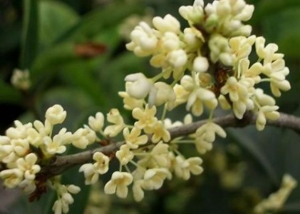 Top 10 Flowers In Chinese Culture In ancient China a quite large number of poets praised osmanthus in their  poems  Chinese people infuse osmanthus flowers with green or black tea  leaves