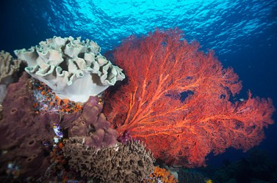An array of corals, gorgonian sea fans and leather coral