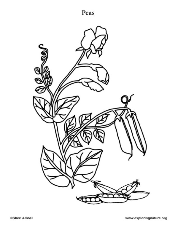 sweet pea coloring pages # 3