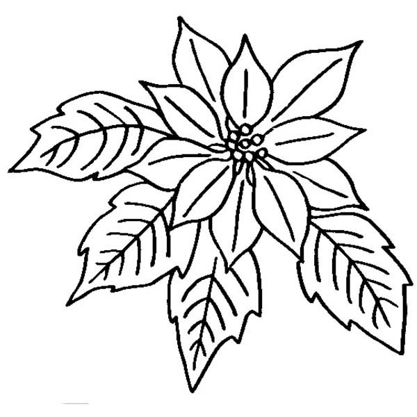 White Color Poinsettia Black And Sheet