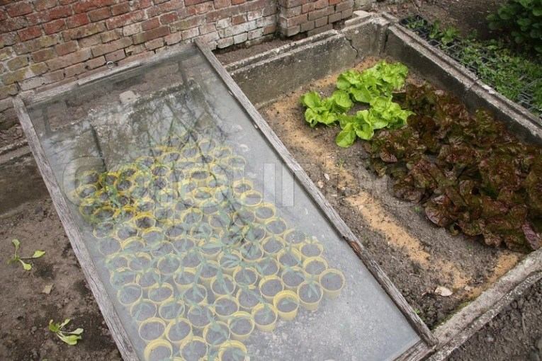 Greenhouse with or without glass for the yellow pots with plants and     Greenhouse with or without glass for the yellow pots with plants and  lettuce in summertime  stock photo