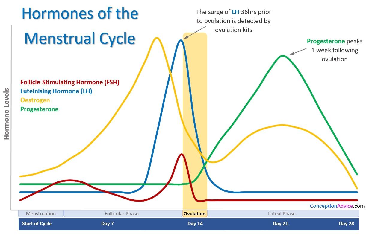 counting menstrual cycle - HD1232×786
