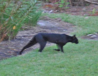 Cryptomundo » Eastern Cougar Mysteries