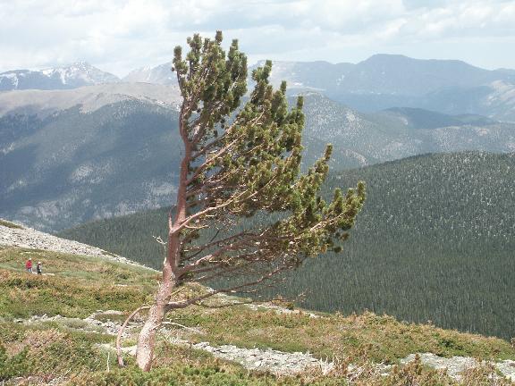 Banner Tree