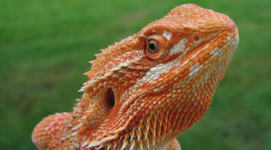 Giant Bearded Dragon Breeders