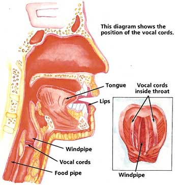 Mouth Ears Vocal Chords Diagram Diy Enthusiasts Wiring Diagrams
