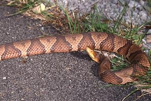Northern Copperhead - Daviess County Audubon Society