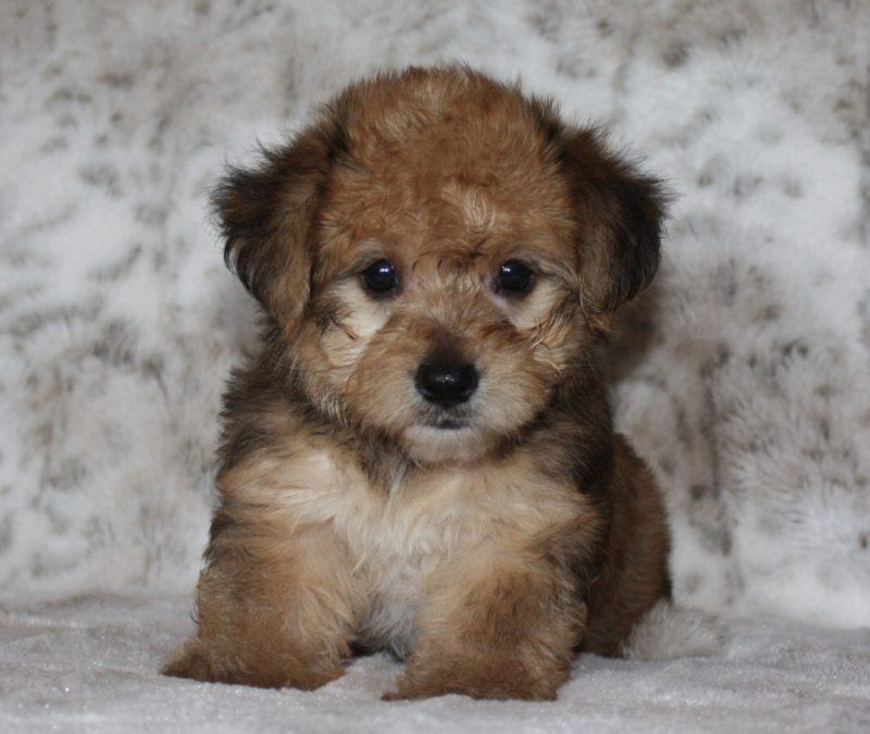 Yorkie Terrier Haircuts