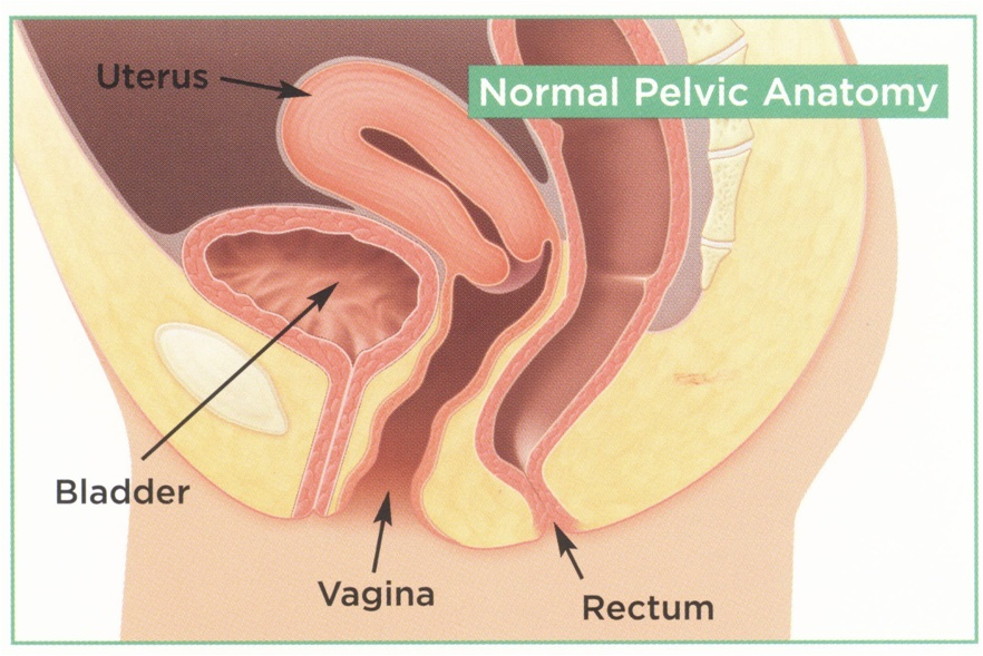 Uterus And Bladder Anatomy Female