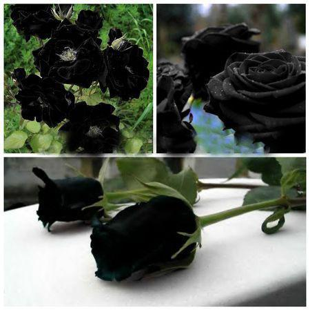 Rare Black Rose Flowers Rare Amazingly Beautiful Black Rose Seeds a     Rare Black Rose Flowers Rare Amazingly Beautiful Black Rose Seeds a Popular  Garden Flower Online with  6 02 Piece on Lijiao s Store   DHgate com