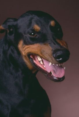 Doberman dog bite expert