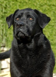 Labrador retriever expert witness