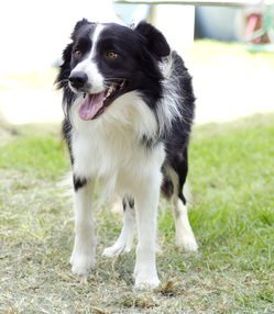 Border collie provocation