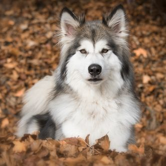 Wolf hybrid aggression & features