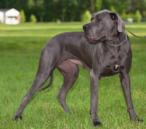 Great Dane dog bite attack on child in pet store in Wisconsin