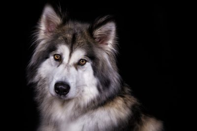 Wolf Hybrids: Are they suitable as pets? | Dog Expert