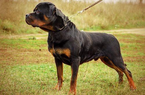 500000 Punitive Damage Award For Rottweiler Dog Bite In Hawaii