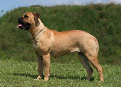Bull mastiff dog bite expert