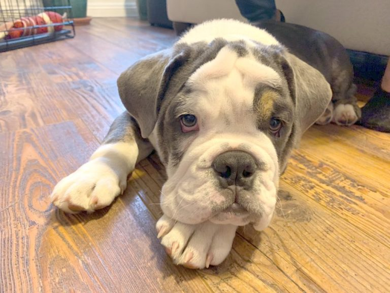 How To Reduce Dog Allergies In English Bulldog Puppies
