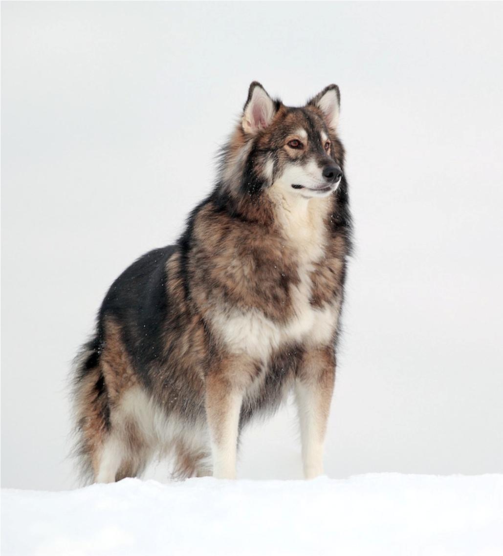 Alapaha American Bulldog