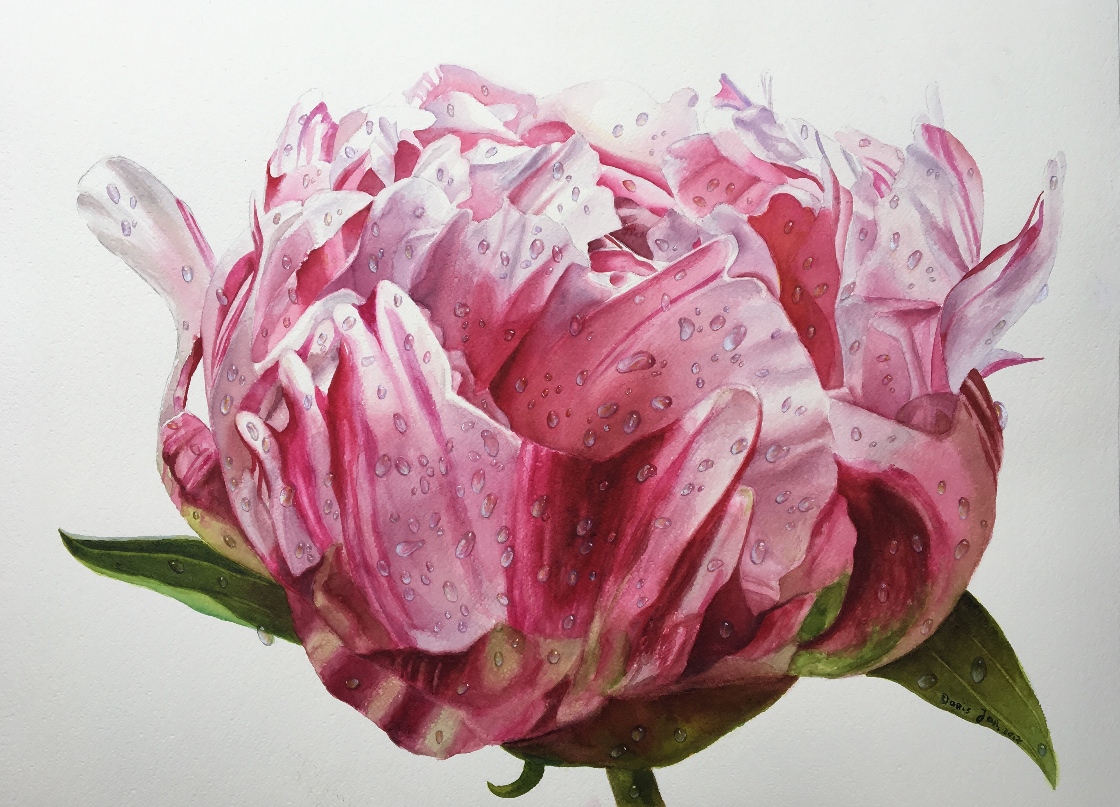 Pink Peony Bud Painting - dewdrops on flower - watercolor ...