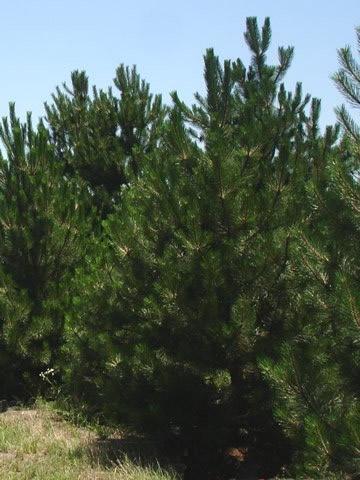 Double Bar Pine Nursery Conifer Amp Price Tree Photo Gallery