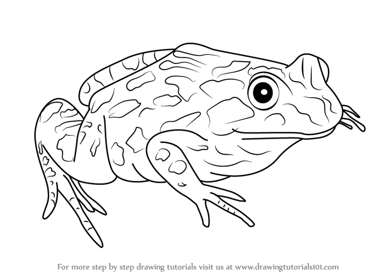 Learn How to Draw a Spotted Marsh frog (Amphibians) Step ...
