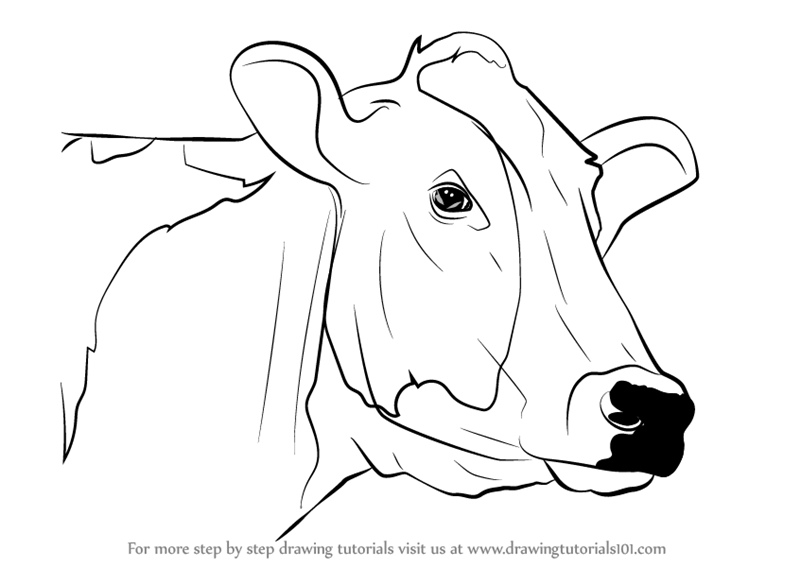 Step Step Easy Drawing Cow