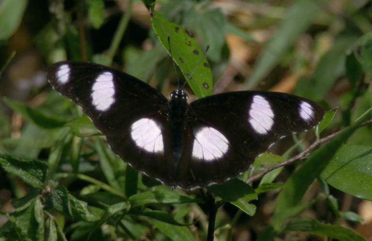 White Black And Information Butterfly
