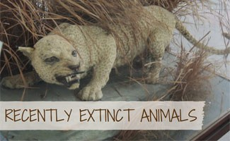Recently Extinct Animals  Not Just Dinos   Earth s Friends Cheeta  Recently Extinct Animals