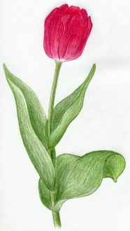 Draw Tulip Flowers In Few Easy Steps Do You Love Drawing Tulip Flowers