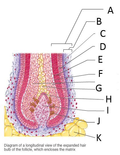 Labeled Hair Follicle Hair Root